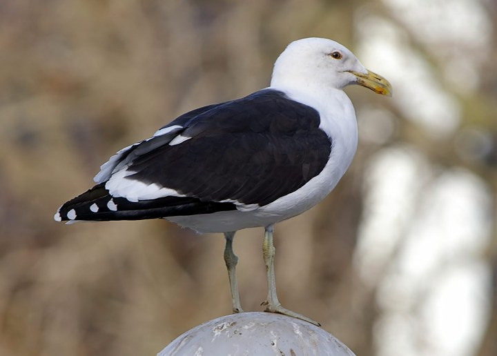 Black-Backed-Gull-pole