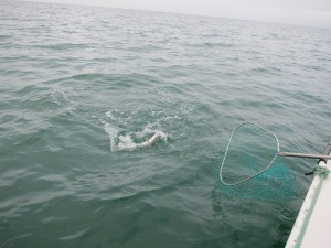 Kahawai on the surface just before netting