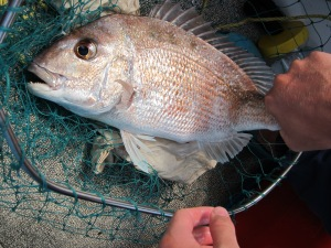 Close up of small snapper in net