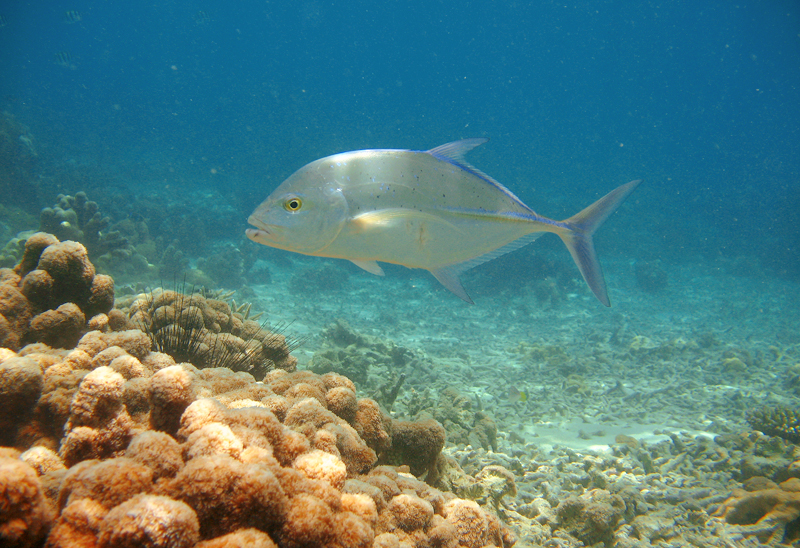 Bluefin-trevally-underwater-in-Madagascar (Feathersandfluoro.com)