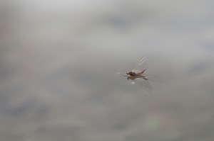 Mayfly on surface