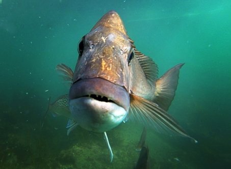 140813.News. Photo:Peter Drury/Waikato Times. Snapper Fishing debate. Snapper underwater.