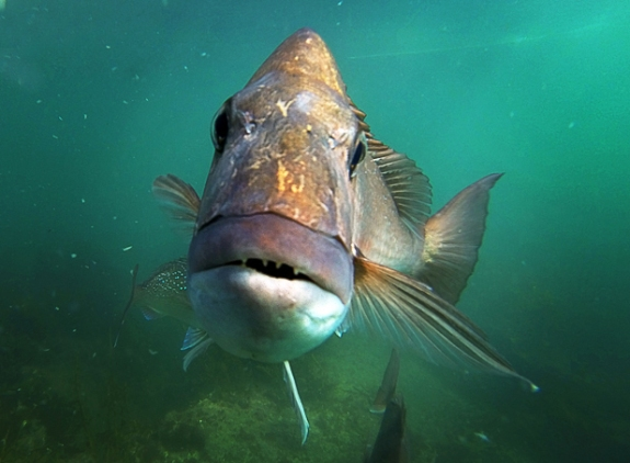 140813.News. Photo:Peter Drury/Waikato Times. Snapper Fishing debate. Snapper underwater.