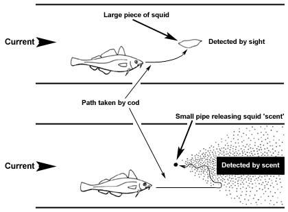 cod plus squid