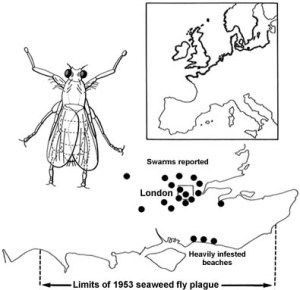 seaweed fly distribution