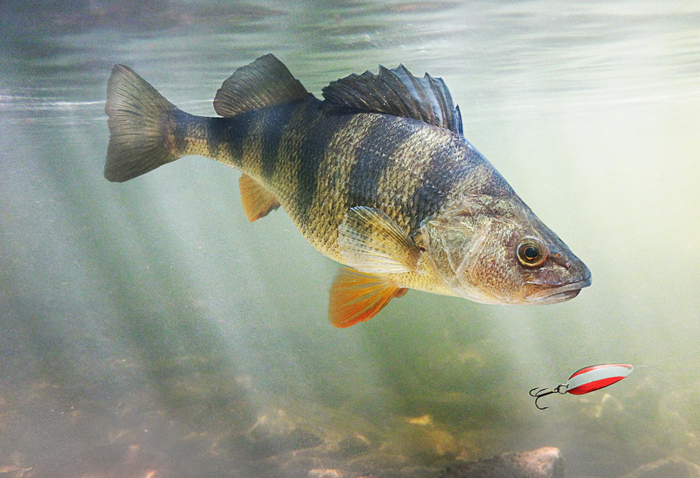Perch redfin feeding behaviour active angling new zealand for Perch fish facts