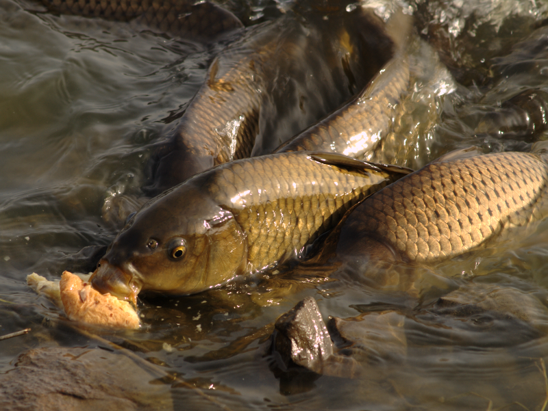 Carp fishing on bread