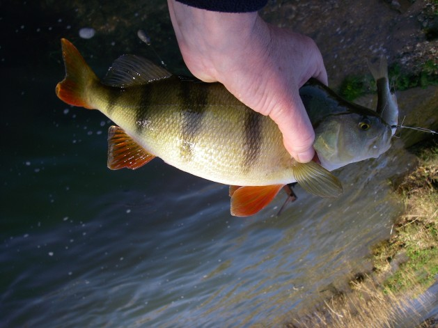 This fish preferred a fair-sized live dace