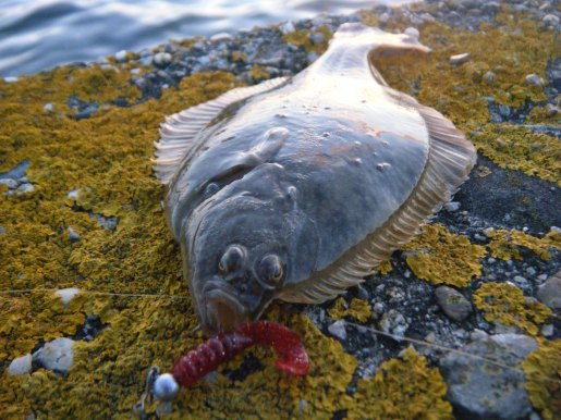 flounder on a lure