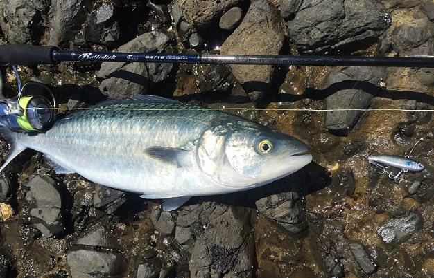 Kahawai on Yamaga 2
