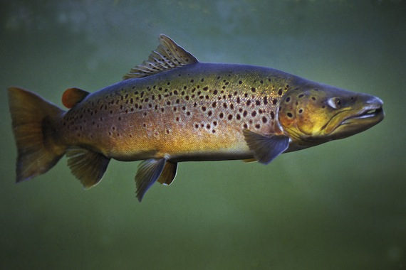 brown-trout-p108.jpg (the Country)