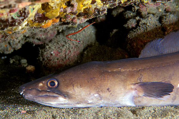 conger eel.jpg